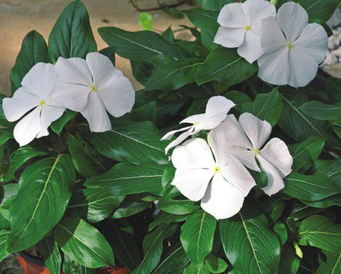 Garden Flowers Common Periwinkle, Creeping Myrtle, Flower,of