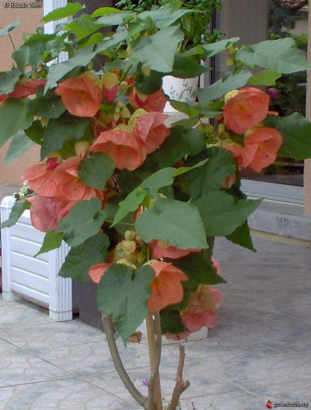Room Flowers Flowering Maple Weeping Maplechinese Lantern Abutilon