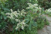 фото Сибирка садовые декоративные цветы - кустарники и деревья.