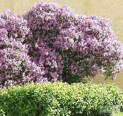 Красиво цветущие кустарники и деревья
