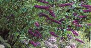 Butterfly Bush, Latem Bzu purpurowy Kwiat