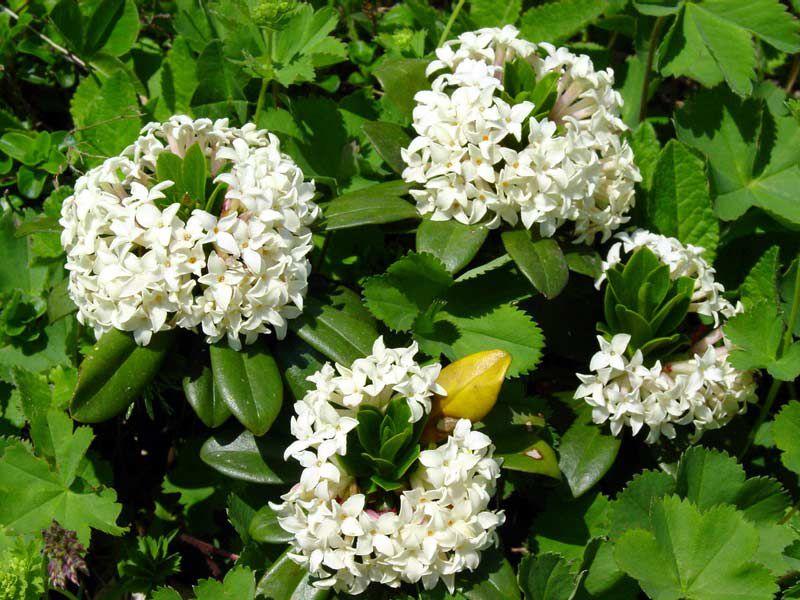 цветущий в начале лета кустарник с белыми цветами