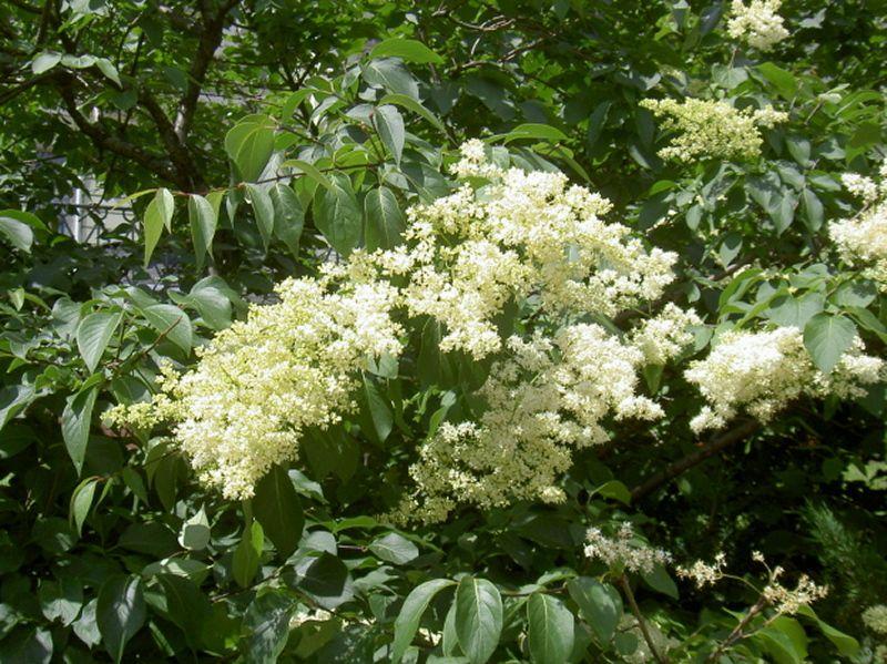 кустарник цветущий белыми цветами в июне