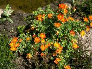 Wateraardbei, Shrubby Wateraardbei orange Bloem