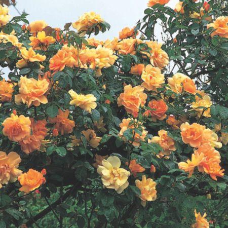 Роза плетистая плетистая роза maigold
