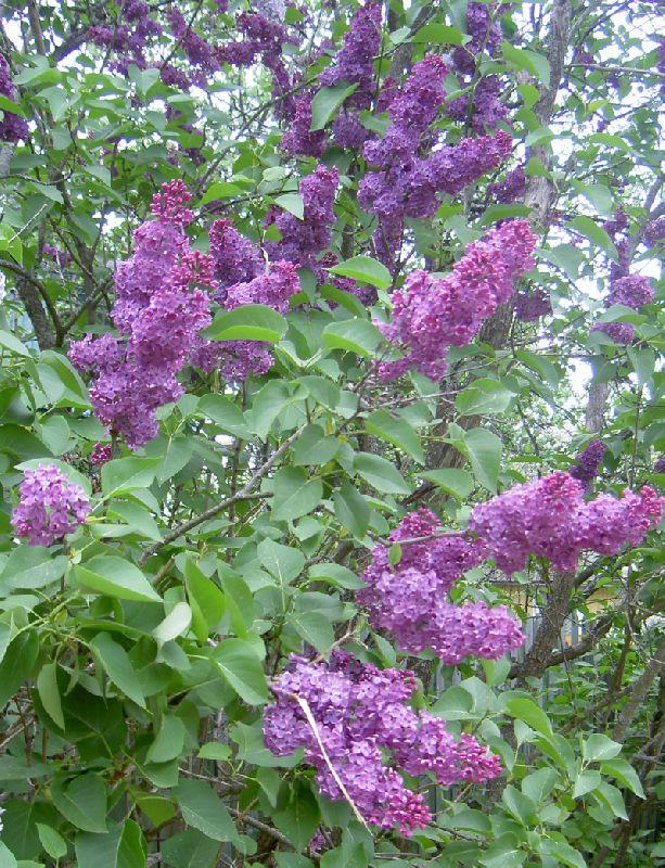 Растение похожее на сирень цветами