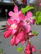 Ribes D'oro, Redflower Ribes rosso Fiore