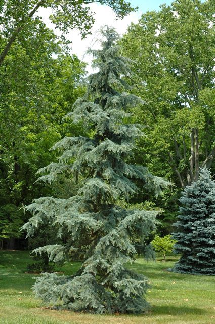 Ornamental Shrubs And Trees Weeping Deodar Deodar Cedar Himalayan