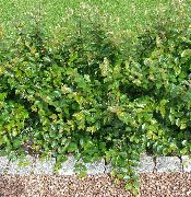 Hedge Cotoneaster, Europese Cotoneaster groen Plant