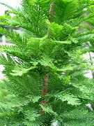 Таксодиум (Таксодий, Болотный кипарис) Taxodium distichum