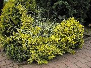 Euonymus geel Plant