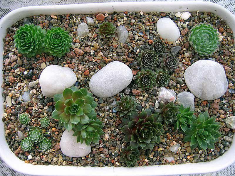 Суккуленты выращивание из семян в домашних условиях пошагово