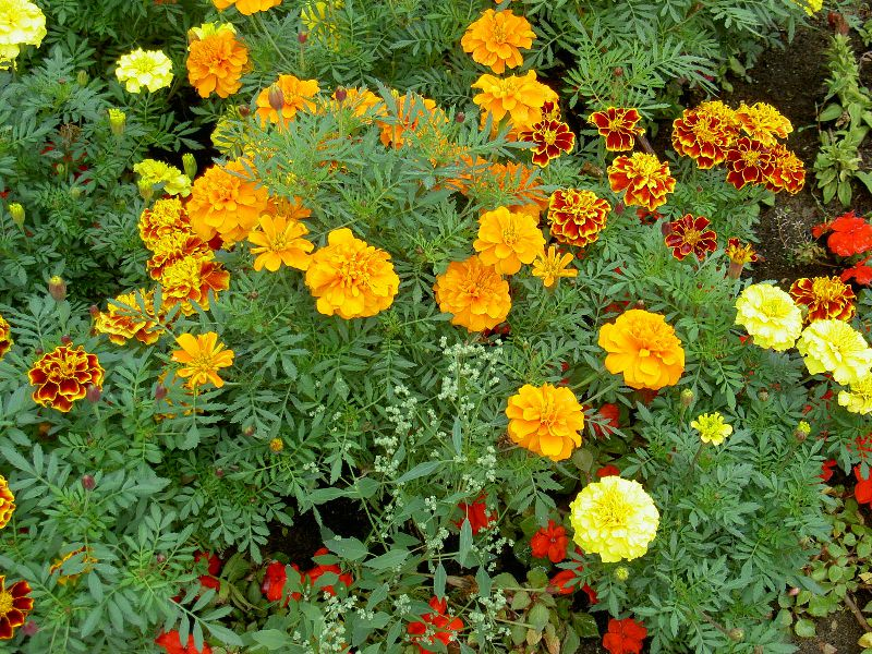 marigolds short story and main point