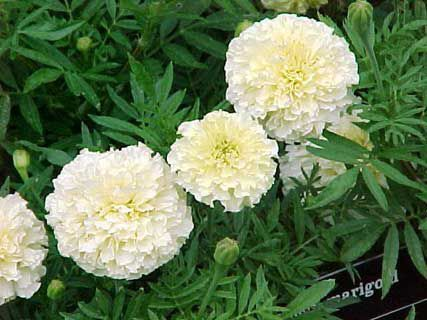 Garden flowers marigold tagetes photo cultivation and maintenance garden flowers white marigold tagetes photos description cultivation and planting care and watering mightylinksfo