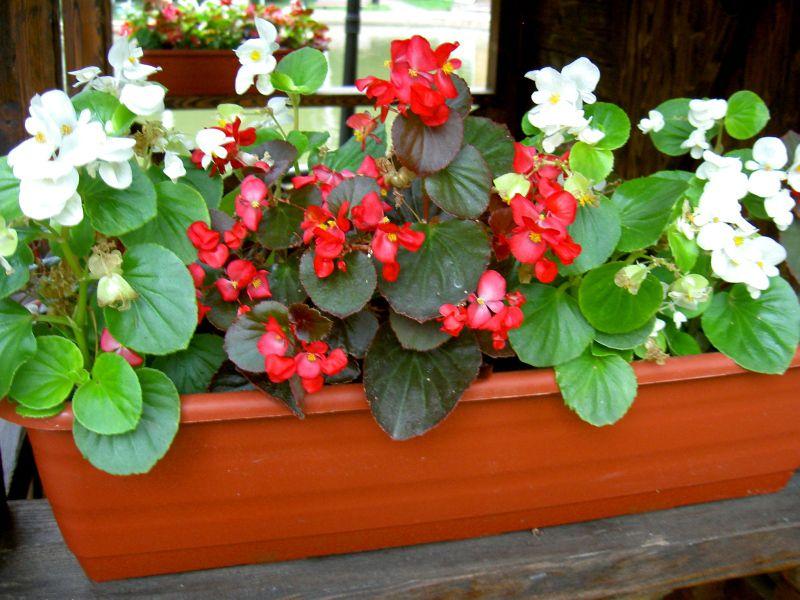 Бегония - уход в домашних условиях, цветение, размножение 25