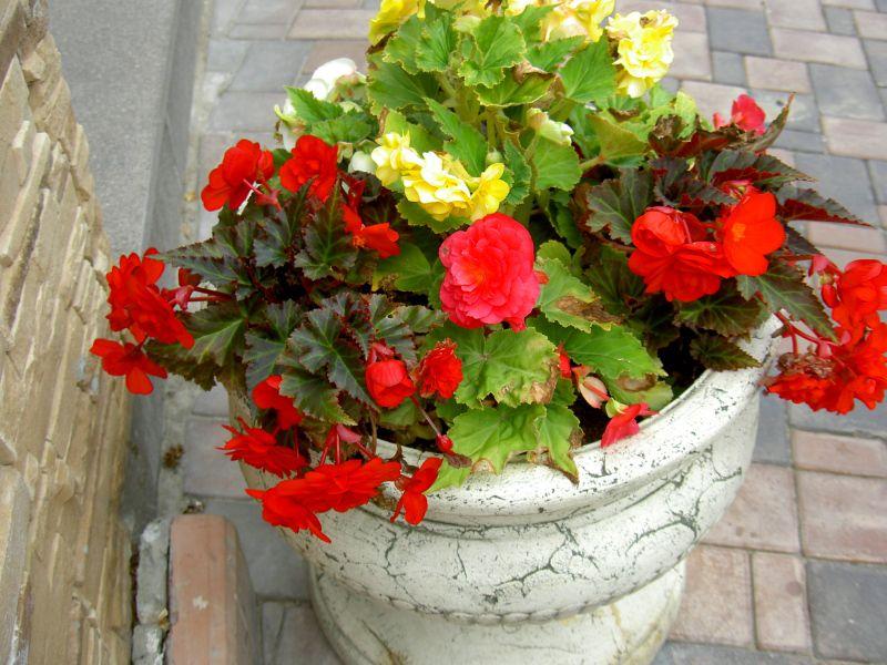 Бегония в саду выращивание 8