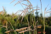 garden flowers green Big Bluestem, Turkeyfoot Andropogon photos, description, cultivation and planting, care and watering