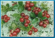 garden flowers red Lingonberry, Mountain Cranberry, Cowberry, Foxberry Vaccinium vitis-idaea  photos, description, cultivation and planting, care and watering