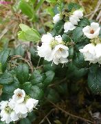 garden flowers white Lingonberry, Mountain Cranberry, Cowberry, Foxberry Vaccinium vitis-idaea  photos, description, cultivation and planting, care and watering
