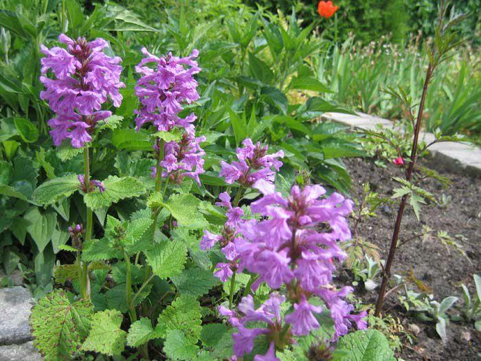 Растение с сиреневыми цветами