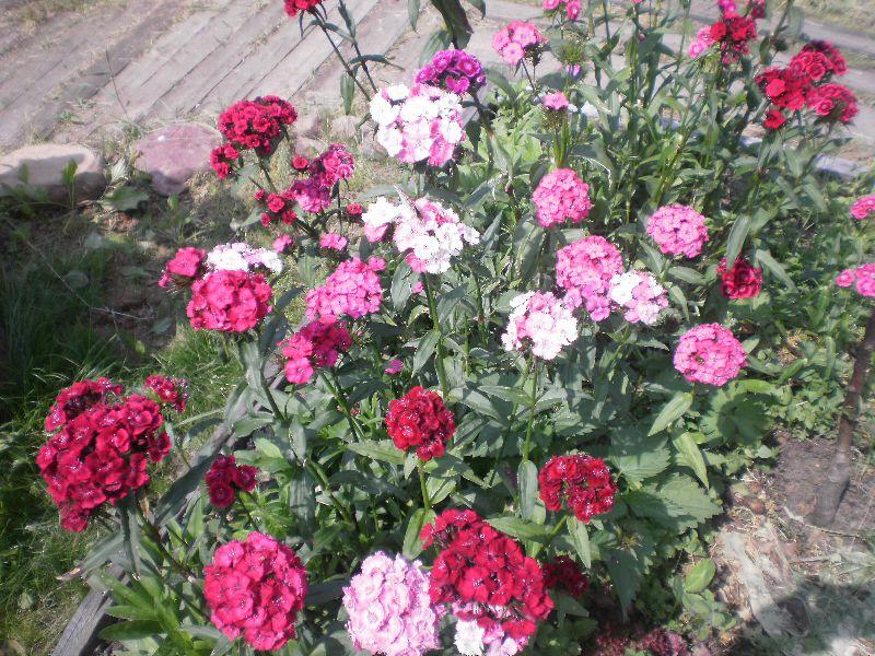 Гвоздика садовая турецкая