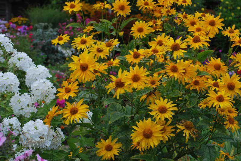 Садовые цветы желтые гелиопсис фото