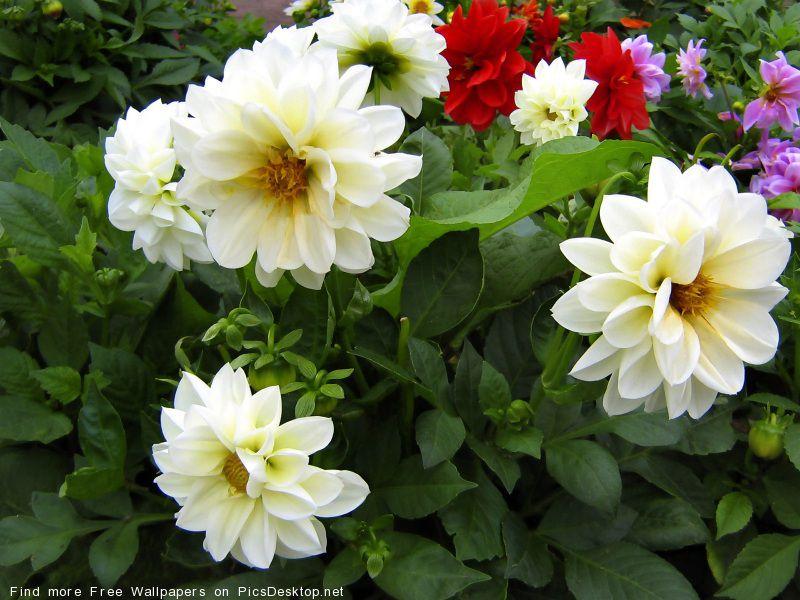Цветы белые георгина фото