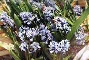 garden flowers light blue Hyacinthella pallasiana Hyacinthella pallasiana photos, description, cultivation and planting, care and watering