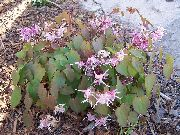 garden flowers lilac Longspur Epimedium, Barrenwort Epimedium  photos, description, cultivation and planting, care and watering