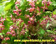 garden flowers red Longspur Epimedium, Barrenwort Epimedium  photos, description, cultivation and planting, care and watering