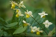 garden flowers yellow Longspur Epimedium, Barrenwort Epimedium  photos, description, cultivation and planting, care and watering