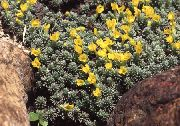 garden flowers yellow Douglasia, Rocky Mountain Dwarf-Primrose, Vitaliana  Douglasia  photos, description, cultivation and planting, care and watering