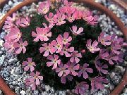 garden flowers pink Douglasia, Rocky Mountain Dwarf-Primrose, Vitaliana  Douglasia  photos, description, cultivation and planting, care and watering