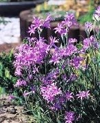 garden flowers lilac Lily-of-the-Altai, Lavender Mountain Lily, Siberian Lily, Sky Blue Mountain Lily, Tartar Lily Ixiolirion  photos, description, cultivation and planting, care and watering