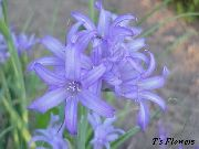 garden flowers light blue Lily-of-the-Altai, Lavender Mountain Lily, Siberian Lily, Sky Blue Mountain Lily, Tartar Lily Ixiolirion  photos, description, cultivation and planting, care and watering
