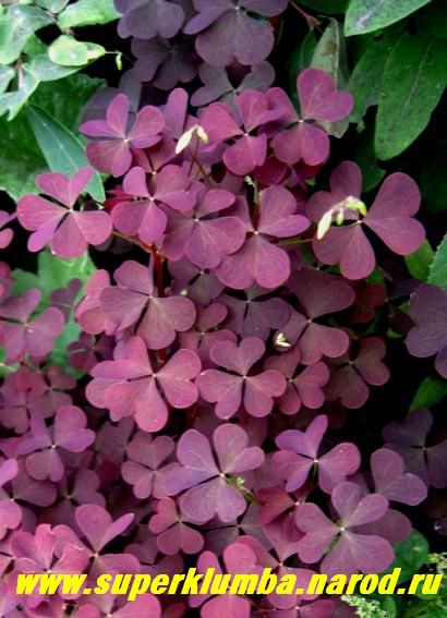Цветы кислица
