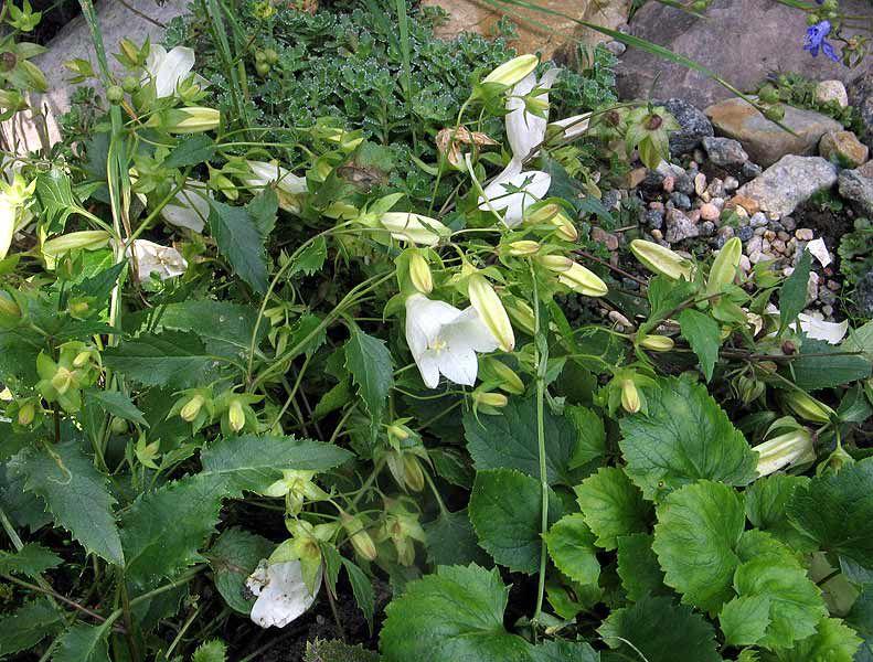 Луковичные цветы посадка и уход