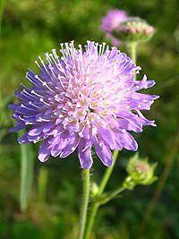 Полевой сиреневый цветок