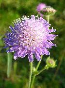 декоративные садовые цветы сиреневые Короставник фото, описание, выращивание и посадка, уход и полив