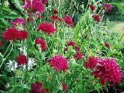 декоративные садовые цветы бордовые Короставник фото, описание, выращивание и посадка, уход и полив
