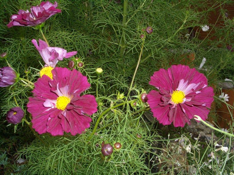 Космея цветы описание и 59
