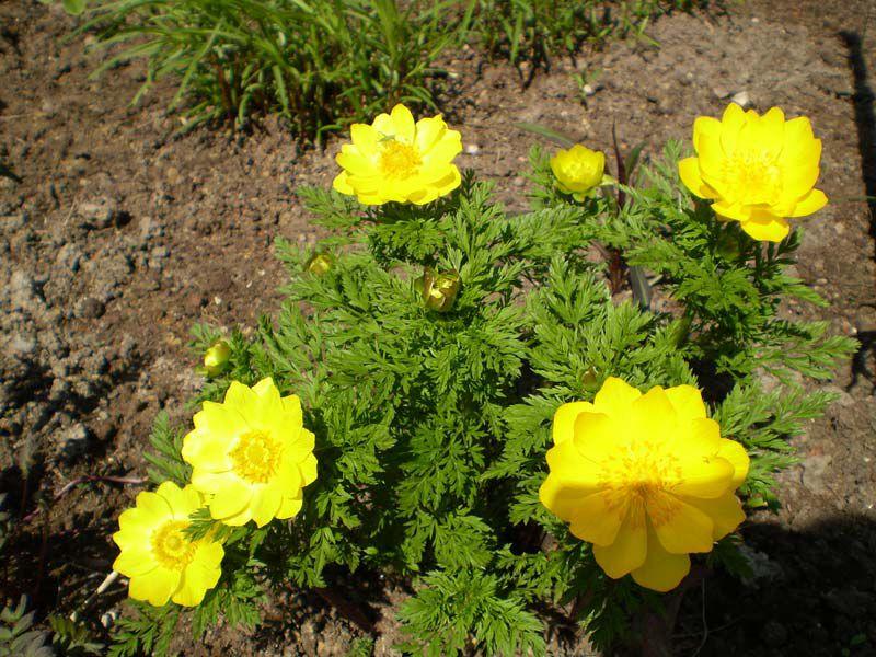 Цветы многолетние желтого цвета