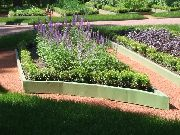 garden flowers purple Lavender  Lavandula  photos, description, cultivation and planting, care and watering
