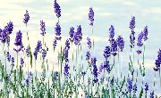 garden flowers dark blue Lavender  Lavandula  photos, description, cultivation and planting, care and watering