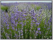garden flowers light blue Lavender  Lavandula  photos, description, cultivation and planting, care and watering