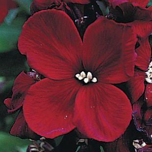 Картинки цветы бордовые