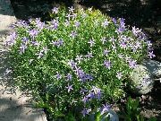 garden flowers lilac Laurentia Isotoma  photos, description, cultivation and planting, care and watering