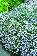 garden flowers light blue Laurentia Isotoma  photos, description, cultivation and planting, care and watering