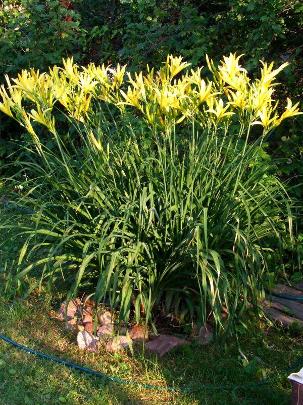 Лилейник садовые цветы 92