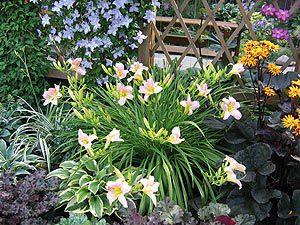 Лилейник садовые цветы 75